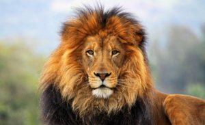 Львы африканские
