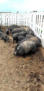 Свинки карликовые азиатские